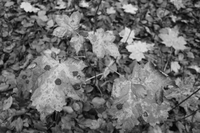 B&W Leaves black with mould #nofilter #noedit