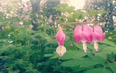 Pretty in pink, Gardens at Saint Joseph's Oratory of Mount Royal