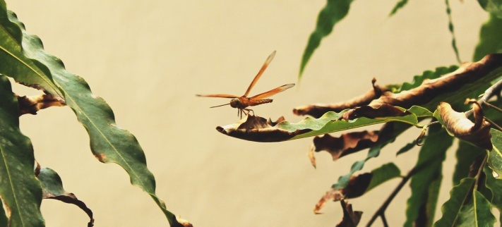 Dragonfly - in the hotel garden, and everywhere else