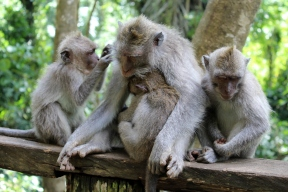 A family of four dozing on the railing at the Monkey Forest.