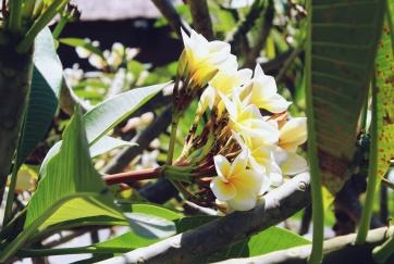 White frangipani, Bali