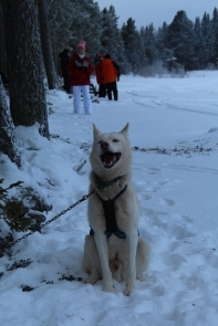 Husky sledding_4