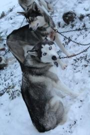 Husky sledding_5