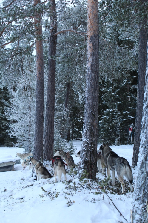 Husky sledding_9